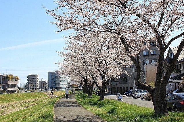 仙台市太白区富沢を流れる新笊川の桜並木の写真