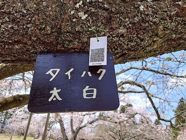 地名(太白区)と同じ名前の桜も!タイハク